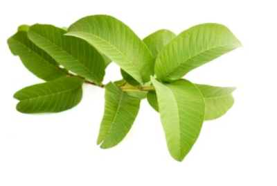 GUAVA -LEAVES